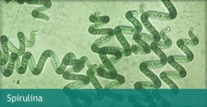 microscopic-spirulina