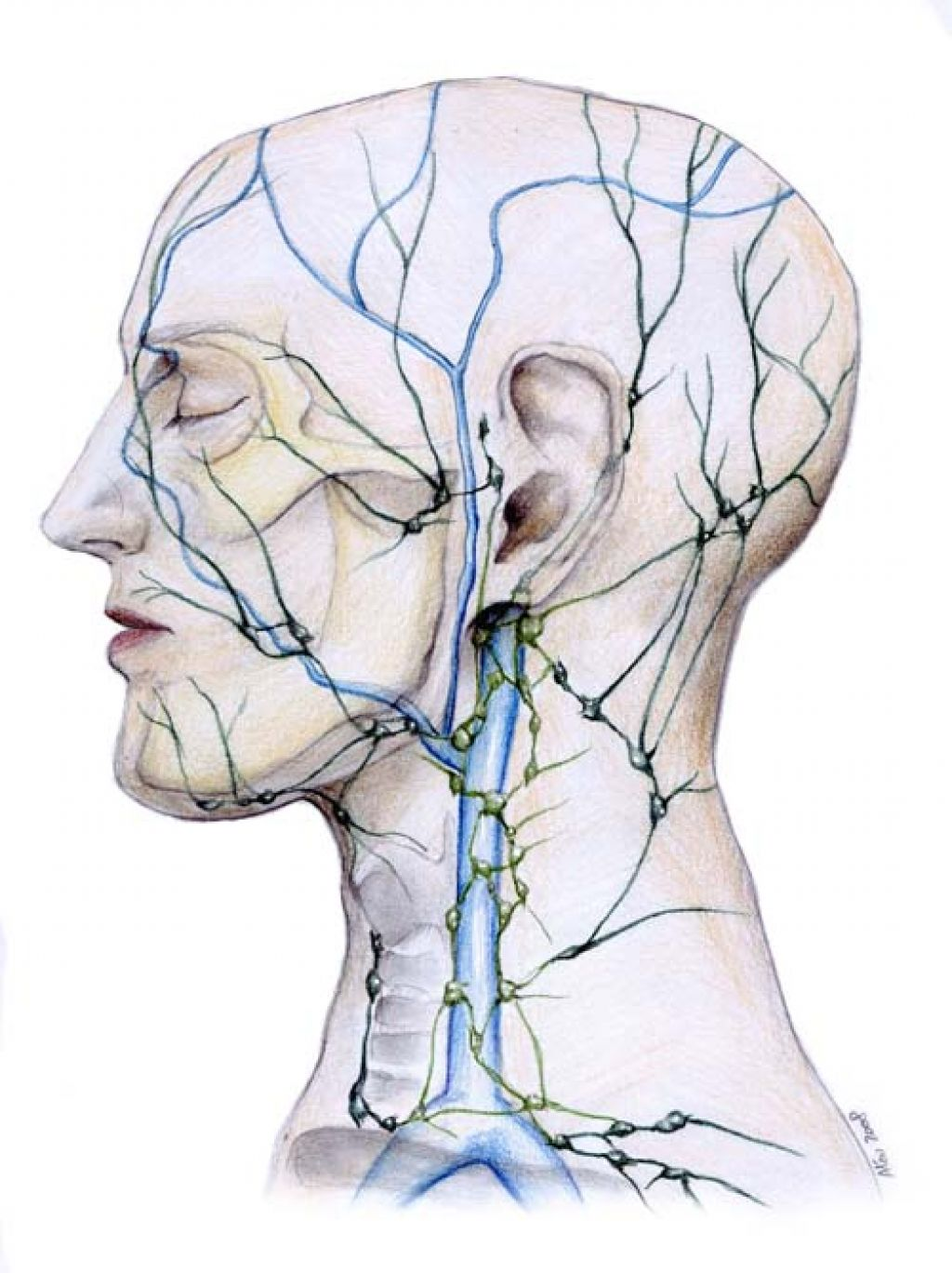 Lymphatic system in the face VISUAL | True Rebels Go Raw