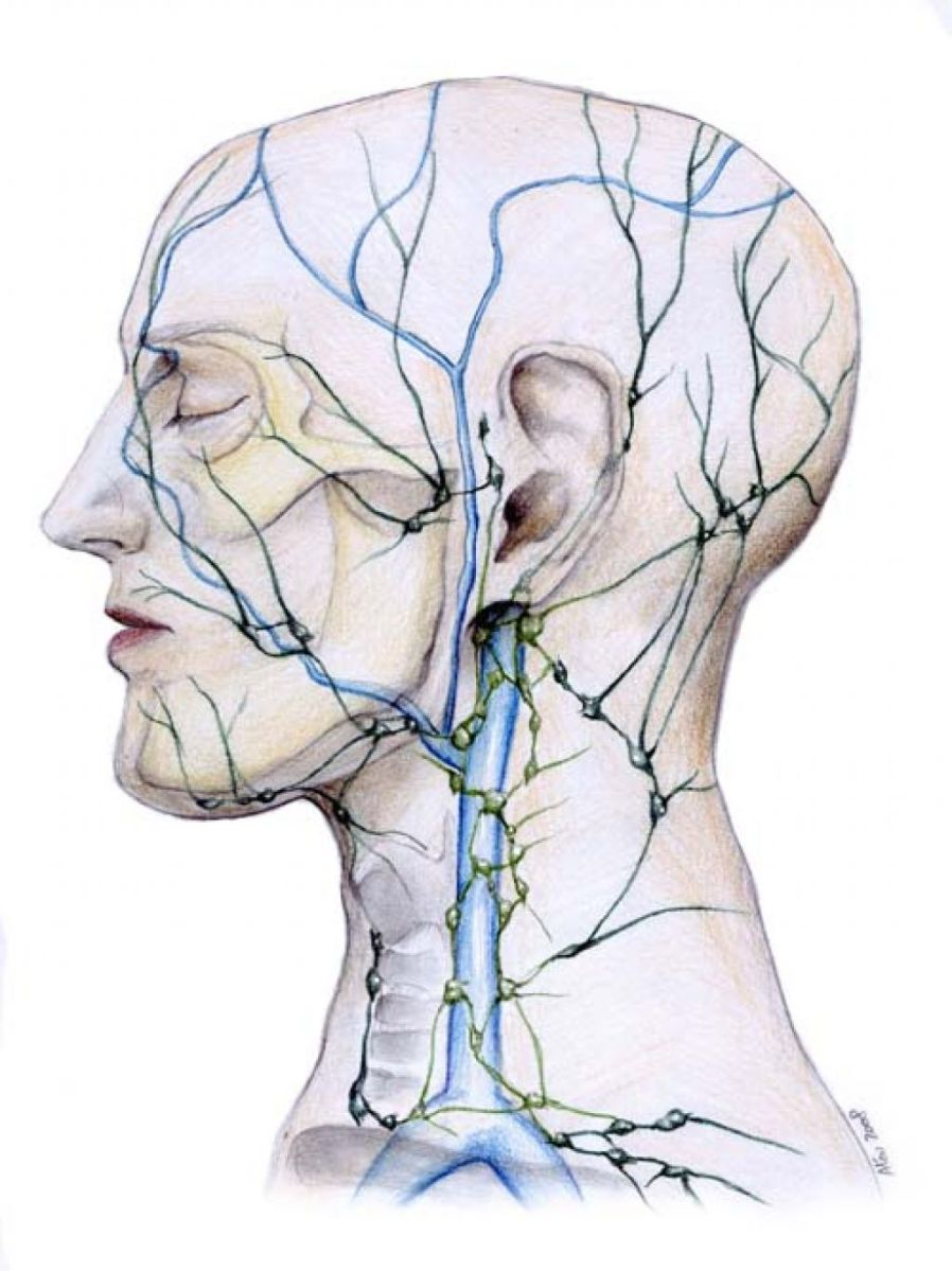 Lymphatic system in the face VISUAL
